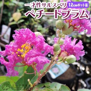 サルスベリ 『 ペチートプラム 』 12cmポット苗|produce87