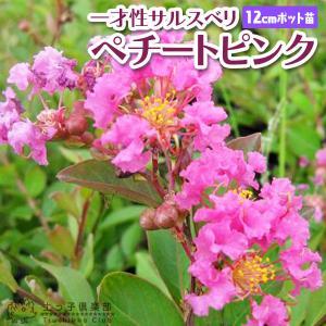 サルスベリ 『 ペチートピンク 』 12cmポット苗|produce87
