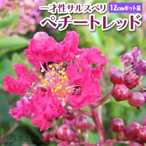 サルスベリ 『 ペチートレッド 』 12cmポット苗|produce87