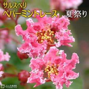 サルスベリ 『 ペパーミントレース ( 夏祭り ) 』 12cmポット苗|produce87
