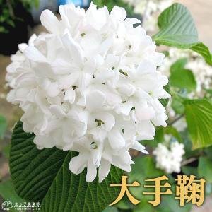 オオデマリ ( 大手毬 ) 10.5cmポット苗木 produce87