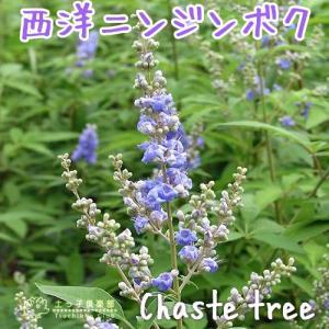 西洋ニンジンボク (チェストツリー) 12cmポット苗|produce87