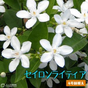 花芽付き セイロンライティア 4号鉢植え|produce87