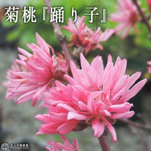 菊桃 (花桃) 『 踊り子 』 13.5cmポット苗 produce87
