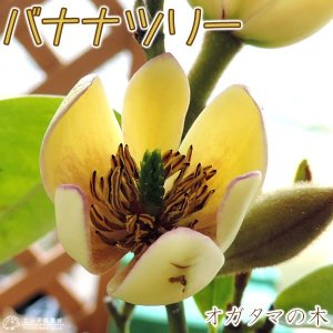 オガタマの木 ( カラタネオガタマ ) 15cmポット苗 (別名: バナナツリー )|produce87