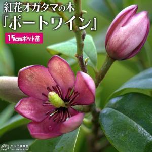オガタマの木  『紅花オガタマ 』 ポートワイン 15cmポット苗 (別名: バナナツリー )|produce87