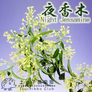 ナイトジャスミン 『 夜香木 』 12cmポット苗|produce87