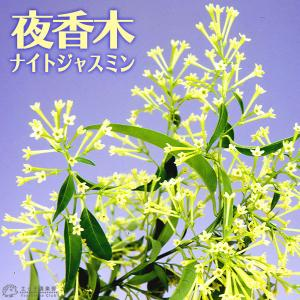 ナイトジャスミン 『 夜香木 』 9cmポット苗|produce87