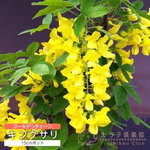 キングサリ(ボッシー) 15cmポット 苗木 ( 黄花藤 )|produce87