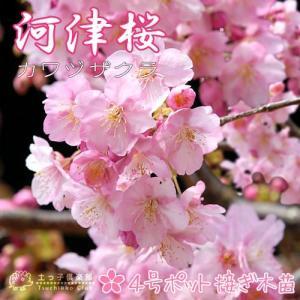桜 『 河津桜 ( かわづざくら ) 』 接ぎ木 12cmポット苗|produce87