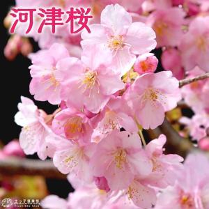 桜 『 河津桜 ( かわづざくら ) 』接ぎ木 15cmポット 苗木|produce87