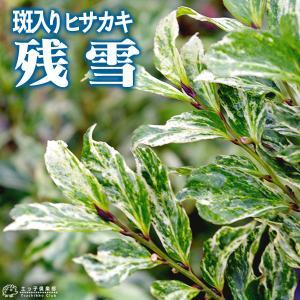 斑入り葉 ヒサカキ 『 残雪 』 12cmポット苗 珍種|produce87