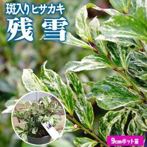 ヒサカキ 斑入り葉 『 残雪 』 9cmポット苗 【 珍種 】(シェードプランツ)|produce87