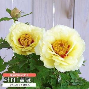 牡丹 『 黄冠 』 6号スリット鉢植え( 黄ボタン )