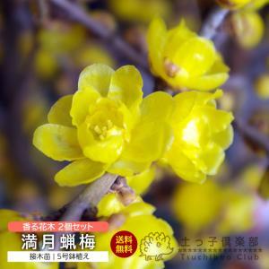 満月蝋梅 (まんげつろうばい) 2個セット ( 送料無料 ) 5号鉢植え produce87