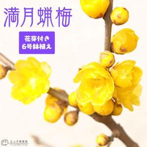 花芽付き 『 満月蝋梅 ( マンゲツロウバイ ) 』 6号鉢植え 接ぎ木苗|produce87