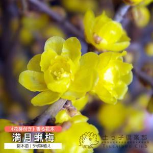 花芽付き 『 満月蝋梅 ( マンゲツロウバイ ) 』 5号鉢植え 接ぎ木苗|produce87
