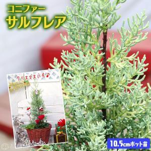 コニファー 『 サルフレア 』 10.5cmポット苗木 ( クリスマスの木 )|produce87