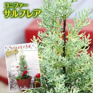 コニファー 『 サルフレア 』 15cmポット苗木 ( クリスマスの木 )|produce87