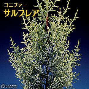コニファー 『 サルフレア 』 5号鉢植え クリスマスの木|produce87