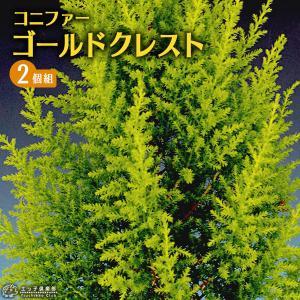コニファー 『 ゴールドクレスト 』 2個セット 9cmポット苗木|produce87