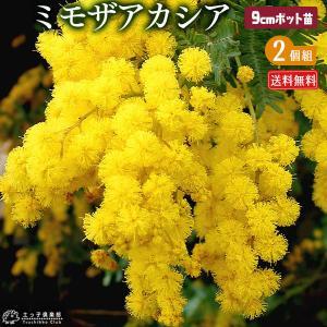 ミモザアカシア ( ゴールデンミモザ ) 2個セット ( 送料無料 ) 9cmポット苗|produce87