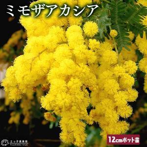 ミモザアカシア 4号ポット 12cmポット苗木( 銀葉アカシア )|produce87