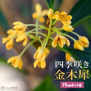 四季咲き金木犀 ( キンモクセイ ) 3年生 15cmポット苗|produce87