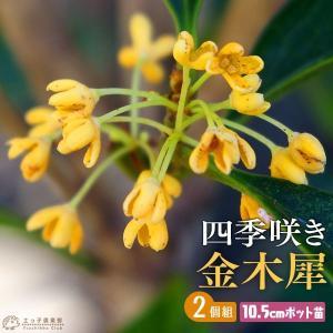 四季咲き金木犀 ( キンモクセイ ) 10.5cmポット苗 2個組 produce87