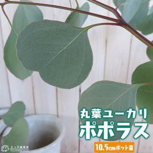 丸葉ユーカリ 『 ポポラス 』 ( シルバーダラーガム ) 10.5cmポット苗木|produce87