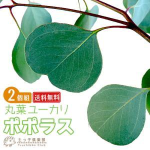 丸葉ユーカリ 『 ポポラス 』 (シルバーダラーガム) 2個セット ( 送料無料 ) 10.5cmポット苗木|produce87