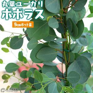丸葉ユーカリ 『 ポポラス 』 (シルバーダラーガム) 9cmポット|produce87