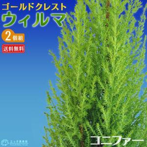 コニファー 『 ゴールドクレスト ウィルマ 』 2個セット 送料無料 12cmポット苗|produce87