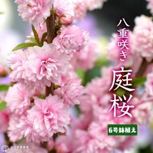 庭桜 ニワザクラ ( ピンク ) 八重咲き  6号鉢植え|produce87