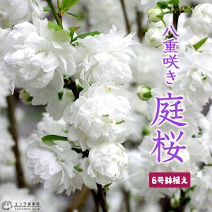 庭桜 ニワザクラ ( 白 ) 八重咲き  5.5号鉢植え|produce87