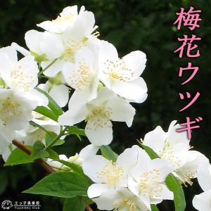 梅花ウツギ 『 香りバイカウツギ 』 5号鉢植え|produce87