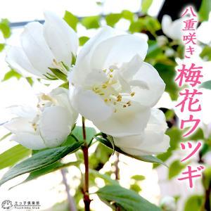 八重咲き 梅花ウツギ ( 五月梅 ) 5号鉢植え|produce87