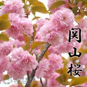 桜 『 関山 ( かんざん )』 接ぎ木 10.5cmポット 苗木|produce87