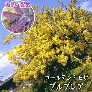 ゴールデンミモザ 『 プルプレア 』( 銀葉アカシア ) 15cmポット苗|produce87