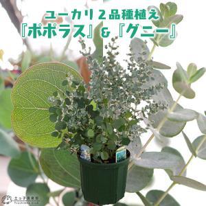 ユーカリ 2品種植え (ポポラス&グニー) 8号スリット鉢|produce87
