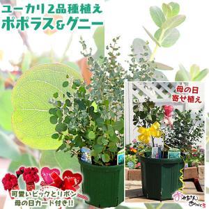 ユーカリは樹形全体の銀葉が美しく、シンボルツリーや記念樹にも最適です。切り花としても人気があり、花束...