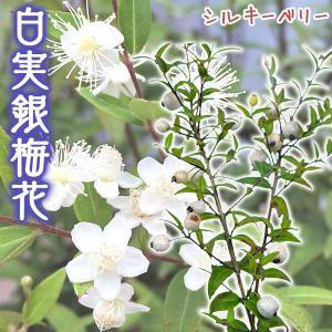 白実 銀梅花『 シルキーベリー 』 12cmポット苗 ( ギンバイカ マートル ) 珍種|produce87