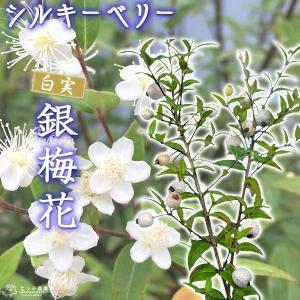 白実 銀梅花『 シルキーベリー 』 9cmポット苗 ( ギンバイカ マートル ) 珍種|produce87