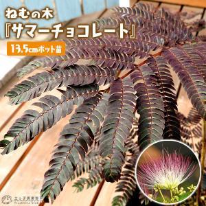 銅葉 ネムノキ 『 サマーチョコレート 』 接ぎ木13.5cmポット苗|produce87
