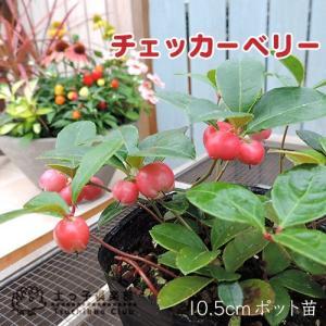 チェッカーベリー 10.5cmポット苗 ( 在庫限り )|produce87