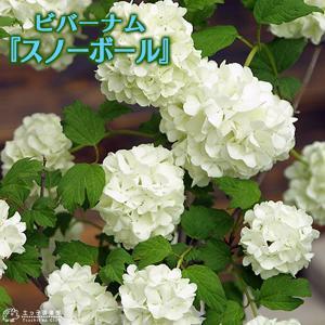 ビバーナム 『 スノーボール 』 苗木 5号鉢植え|produce87