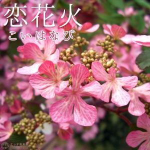 ヤブデマリ 『 恋花火 』 9cmポット苗|produce87
