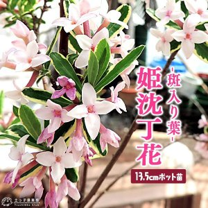 斑入りジンチョウゲ 『 覆輪姫沈丁花 』 13.5cmポット苗|produce87
