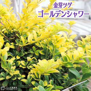 キンメツゲ 『 ゴールデンシャワー 』 ( 金芽ツゲ ) 7.5cmポット苗 produce87