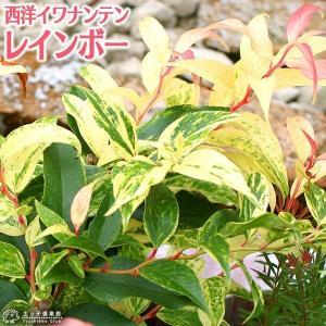 西洋イワナンテン 『 レインボー 』 9cmポット苗|produce87